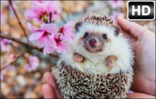 Hedgehog HD Wallpaper Cute Hedgehogs New Tab