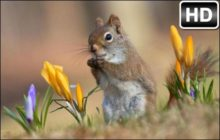 Squirrel HD Wallpaper Cute Squirrels New Tab