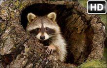 Raccoon HD Wallpapers Raccoon New Tab