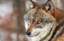 "An Interesting ""Wolves Question"": Can Wolf Make Great Pet?"