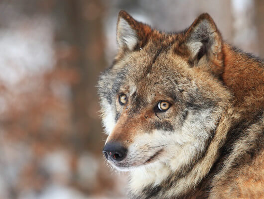 An Important Quot Wolves Question Quot Can Wolf Make Great Pet