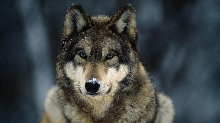 can wolf make great pet 2