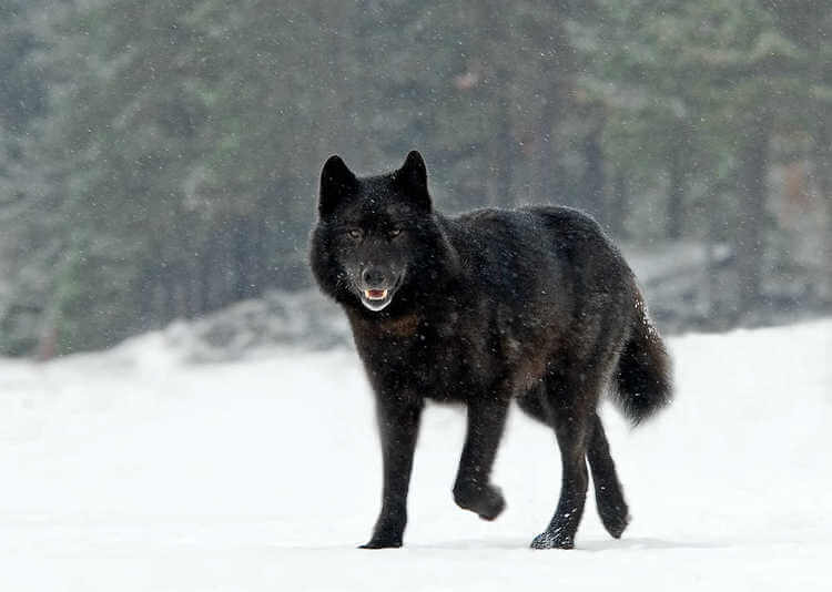 can wolf make great pet 4
