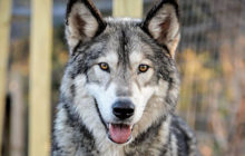 do wolfdogs make good pets 0