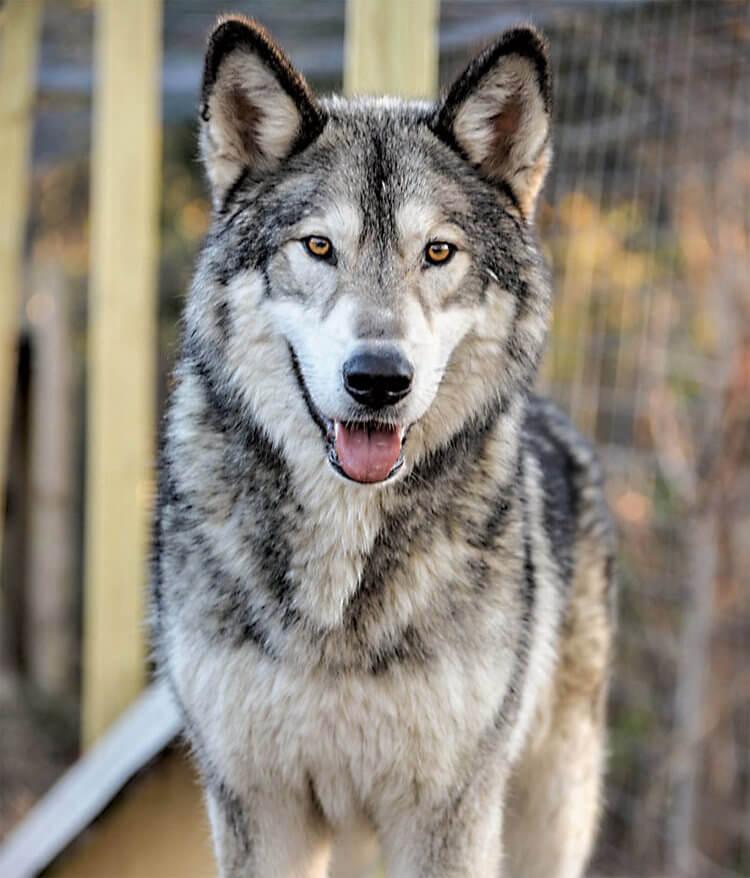 do wolfdogs make good pets 1