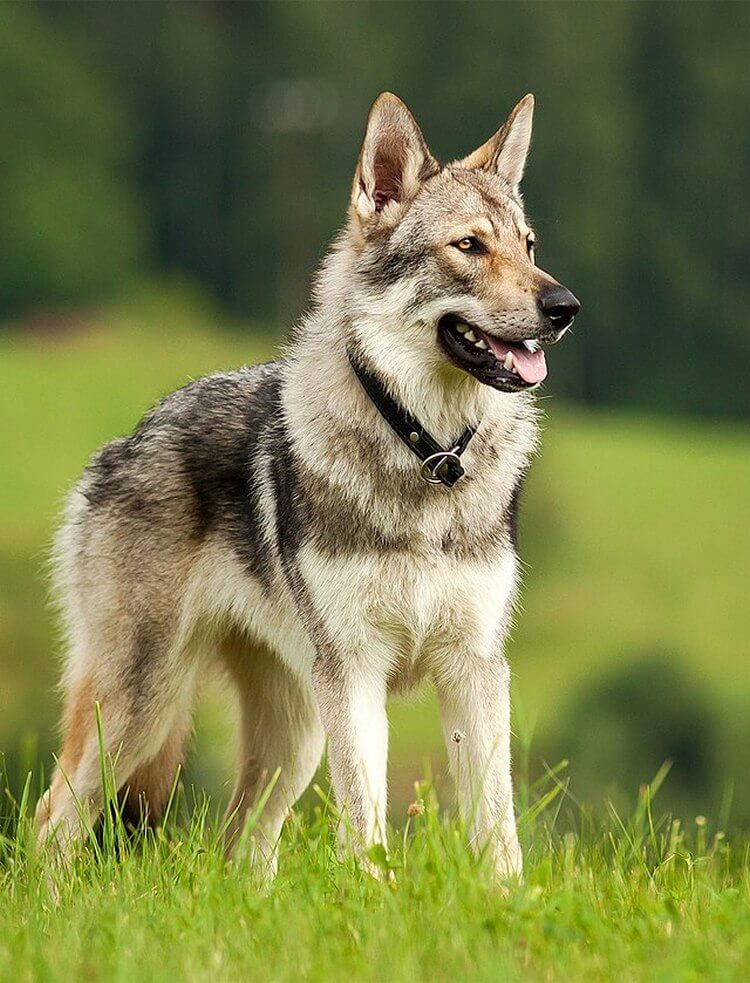 do wolfdogs make good pets 2