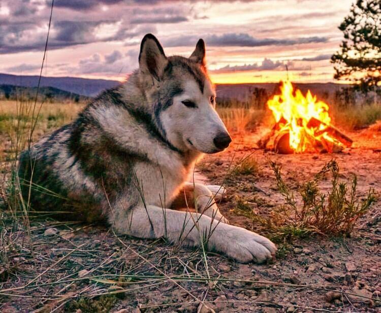do wolfdogs make good pets 4