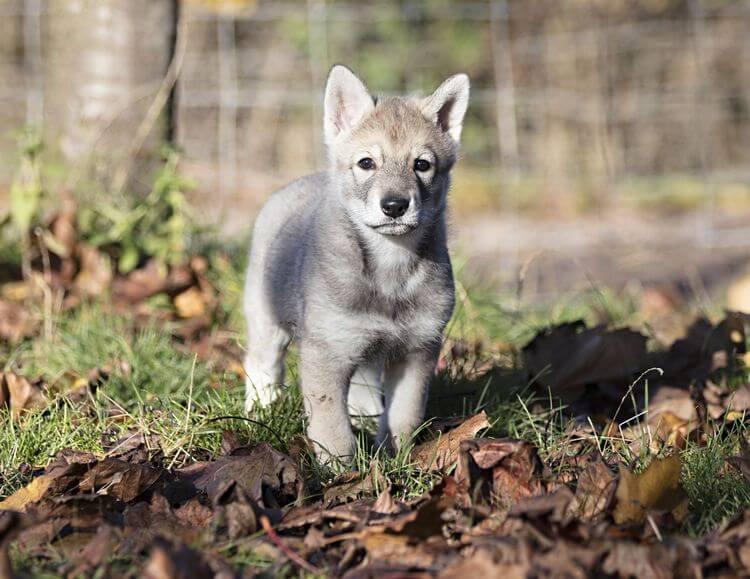 do wolfdogs make good pets 5
