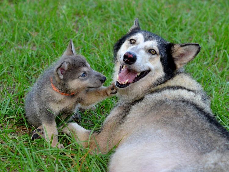 do wolfdogs make good pets 6