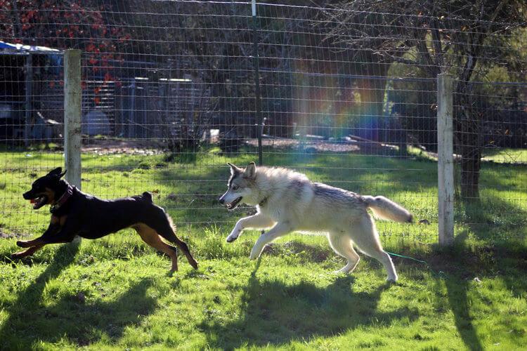 do wolfdogs make good pets 7