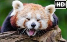 Red Panda HD Wallpapers New Tab Themes