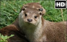 Otter HD Wallpapers Otters New Tab Themes