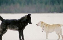 difference between dogs and wolves 0