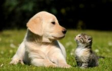 introduce your kitten to your dog 0