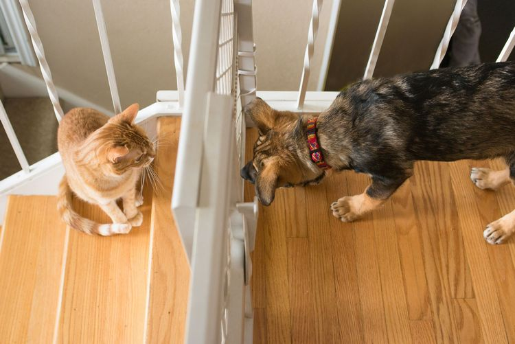 introduce your kitten to your dog 7