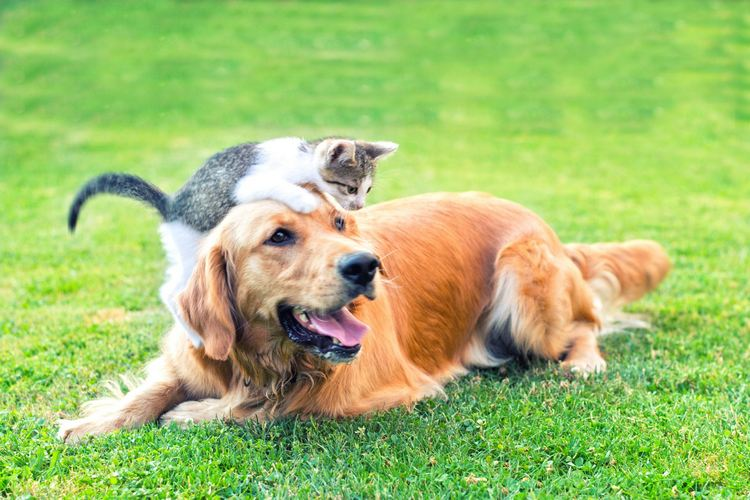 introduce your kitten to your dog 8