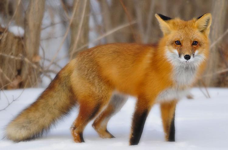 can fox make good pet 1