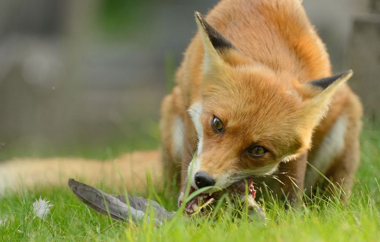can fox make good pet 2