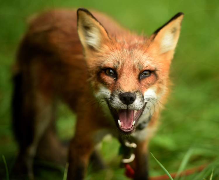 Foraging fox image in Animals category at pixy.org