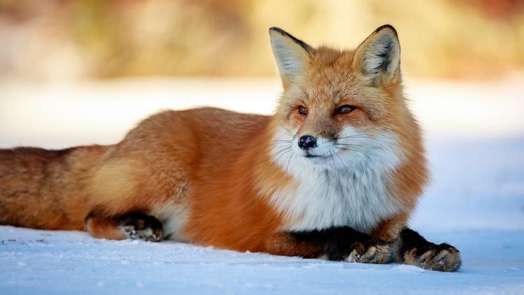can fox make good pet 9