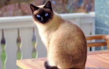 Know Your Feline Friends: Meet The Chatty Siamese Cat!