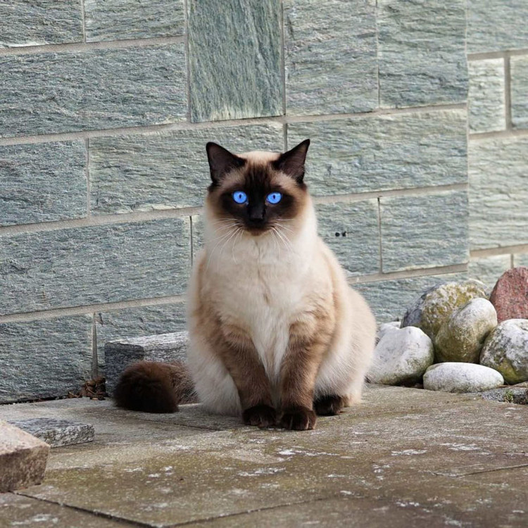 siamese cat 4