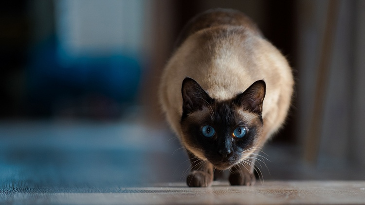 siamese cat 5
