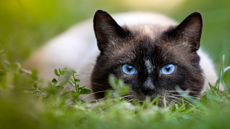 siamese cat 6
