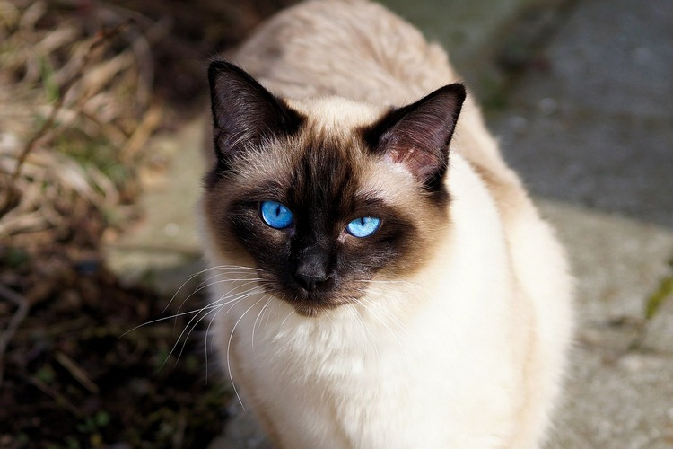siamese cat 7